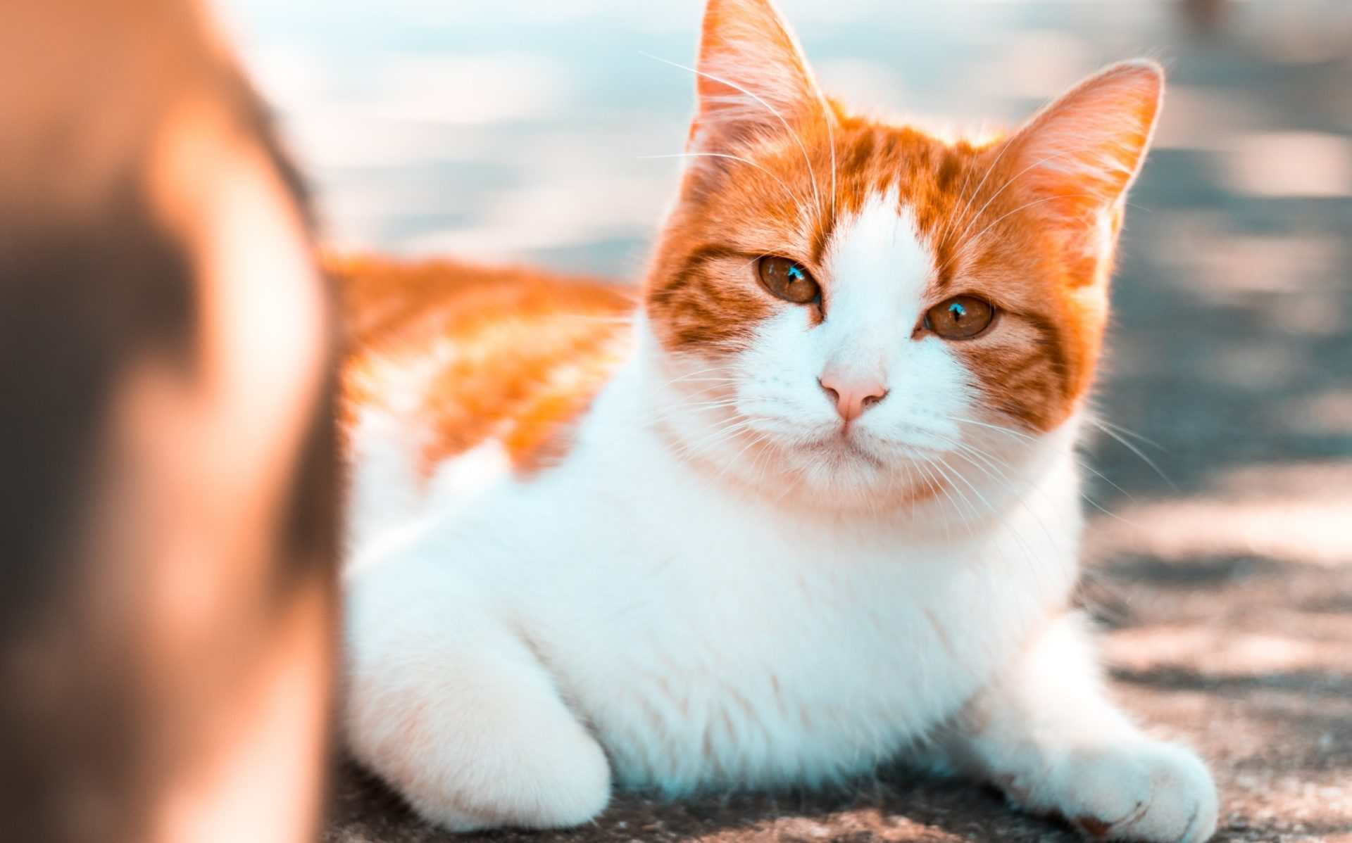 orange and white cat laying in the sun